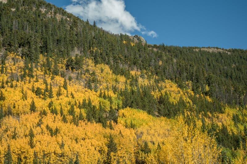 Rocky Mountain Aspens imagem de stock