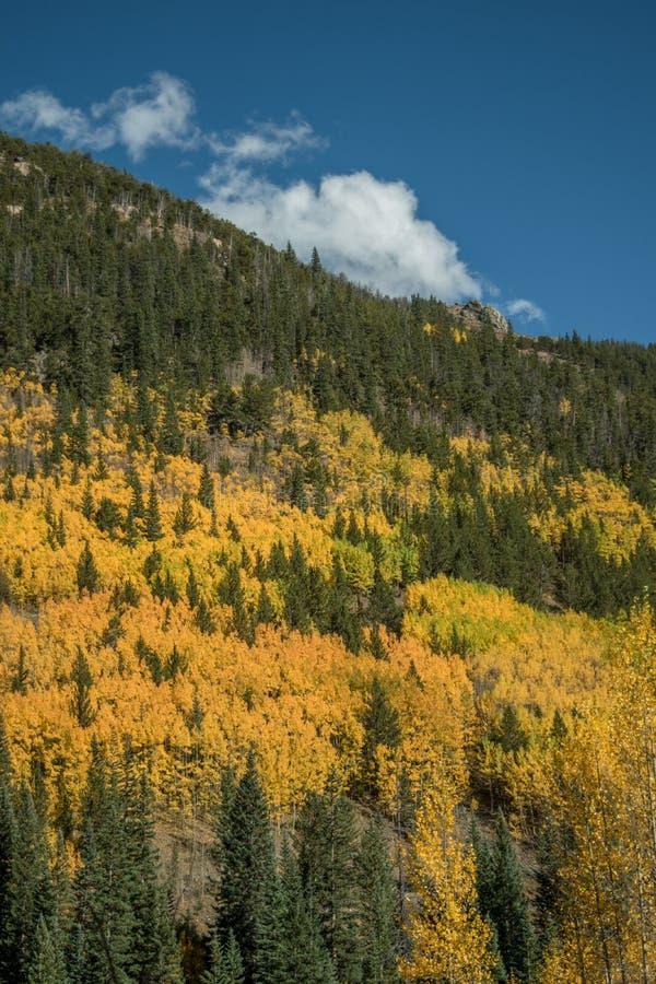 Rocky Mountain Aspens imagens de stock royalty free