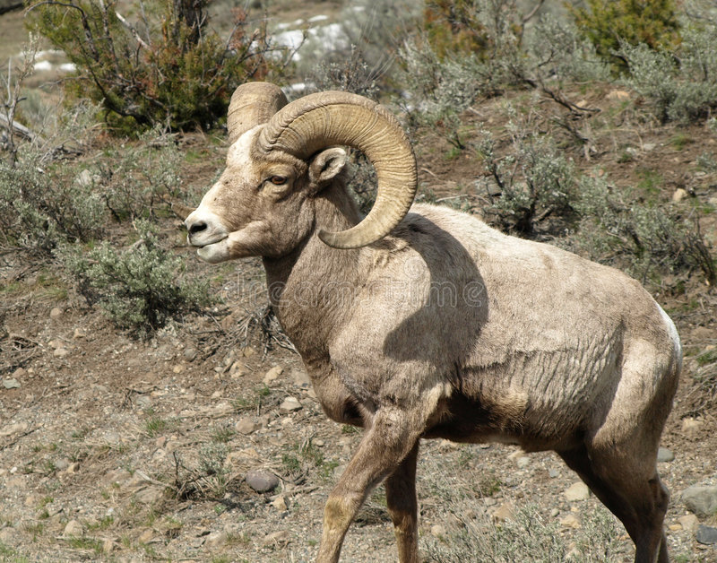 Download Rocky Mountain Big Horn Sheep/Ram Stock Image - Image: 8551545