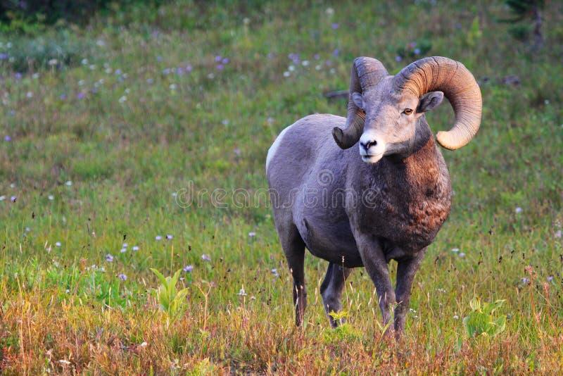 Rocky Mountain Big Horn Sheep Ram. Rocky Mountain Big Horn Male ram sheep at Logan Pass in Montana Glacier National Park morning stock photos