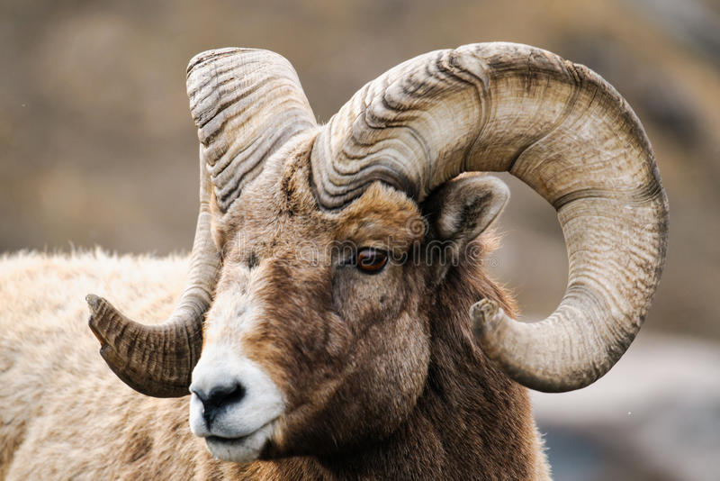 Rocky Mountain Big Horned Sheep stock fotografie
