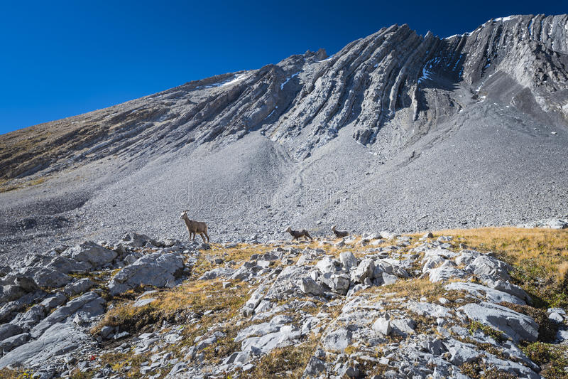 Rocky Mountain Big Horned Sheep royaltyfria foton