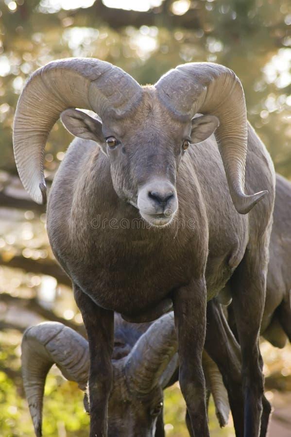 Download Rocky Mountain Bighorn Ram Portrait Stock Image - Image: 1423311