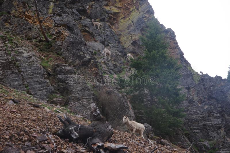 Rocky Mountain Bighorn Sheep, canadensis stock foto