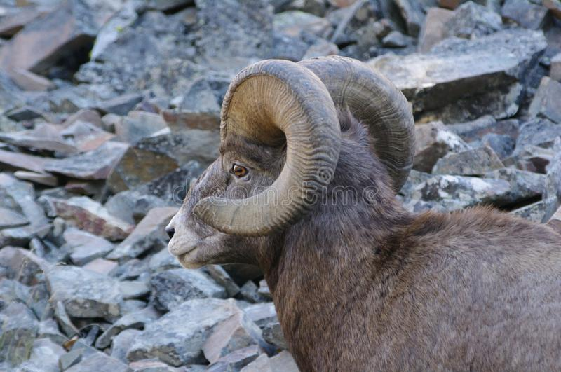 Rocky Mountain Bighorn Sheep canadensis royaltyfria foton