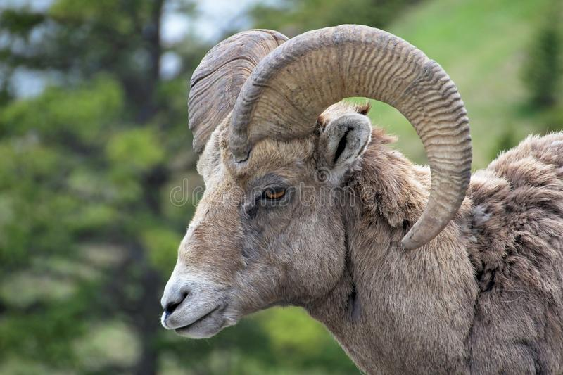 Rocky Mountain Bighorn Sheep, canadensis latin do canadensis do ovis do nome, Banff, Canadá imagem de stock