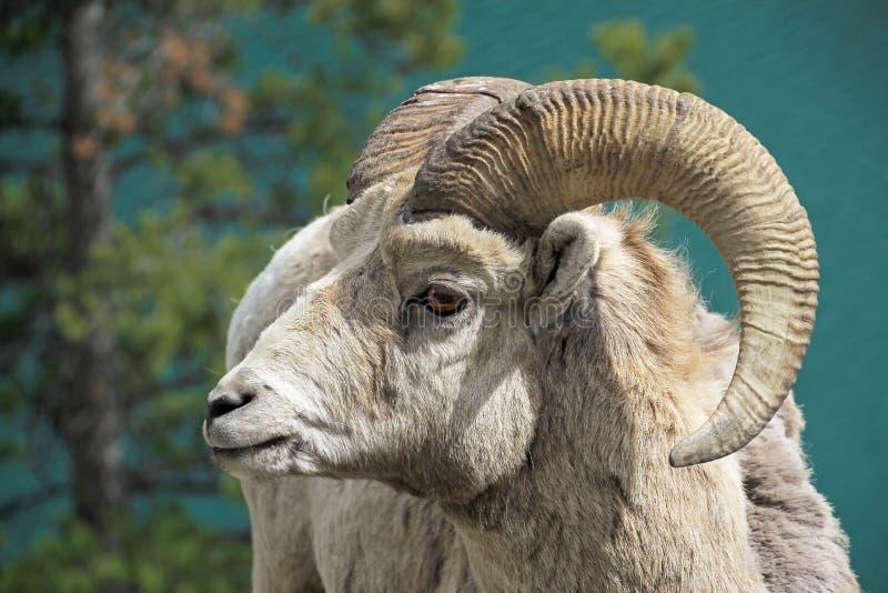 Rocky Mountain Bighorn Sheep, canadensis latino di canadensis del ovis di nome, Banff, Canada fotografie stock