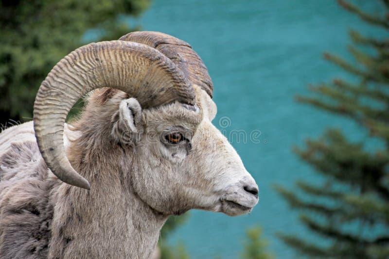 Rocky Mountain Bighorn Sheep, canadensis latino di canadensis del ovis di nome, Banff, Canada immagini stock