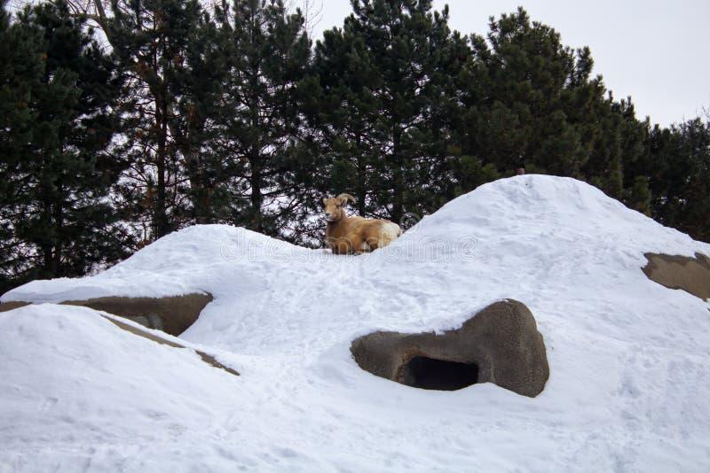 Rocky Mountain Bighorn Sheep détendant sur une colline photo stock