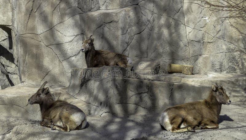Rocky Mountain Bighorn Sheep in a zoo stock photography