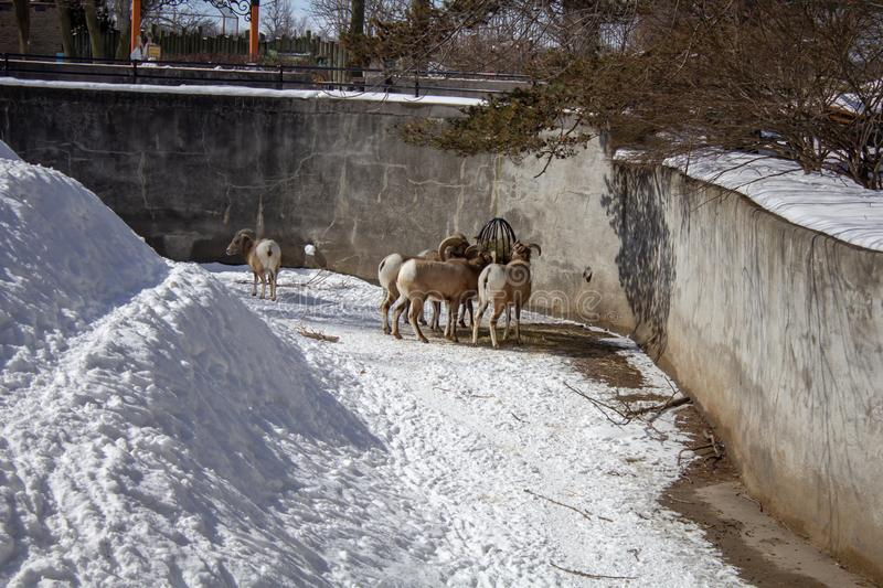 Rocky Mountain Bighorn Sheep feeding in a zoo. Rocky Mountain Bighorn Sheep feeding in buffalo zoo winter season zoo royalty free stock photo