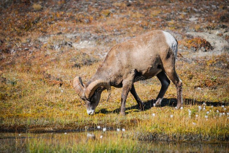 Rocky Mountain Bighorn Sheep (Ovis-canadensis) stock foto