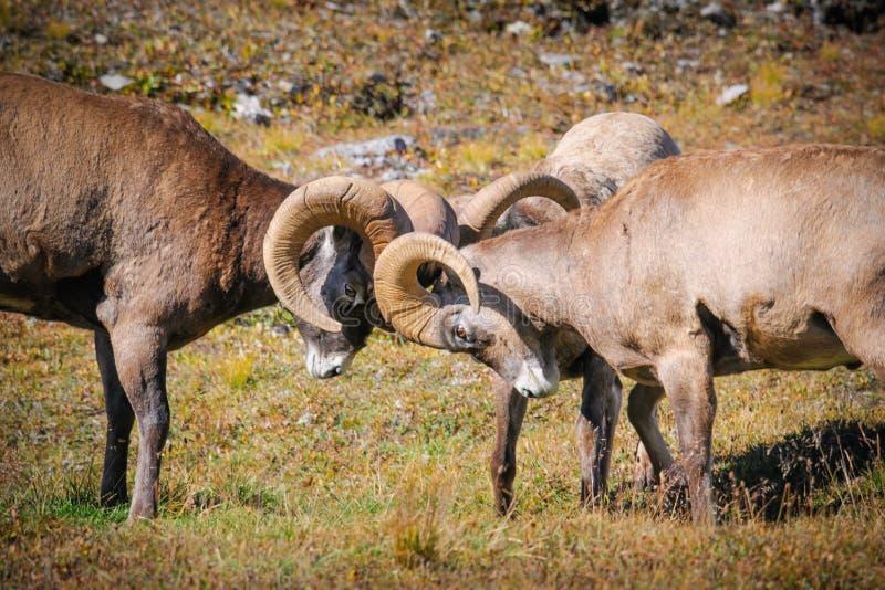 Rocky Mountain Bighorn Sheep (Ovis-canadensis) royalty-vrije stock fotografie
