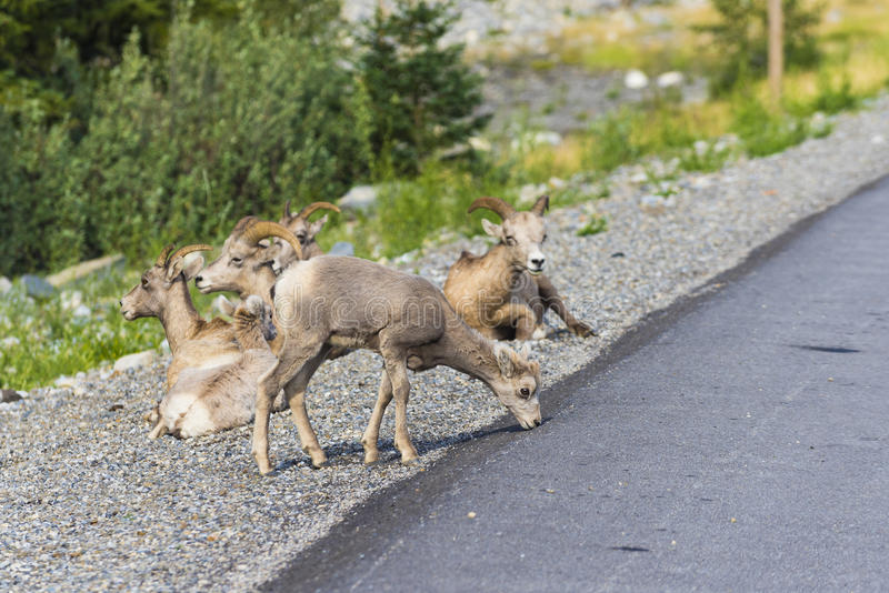 Rocky Mountain Bighorn Sheep (Ovis-canadensis) royalty-vrije stock foto