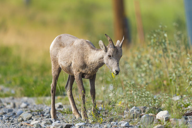 Rocky Mountain Bighorn Sheep (Ovis-canadensis) stock foto's
