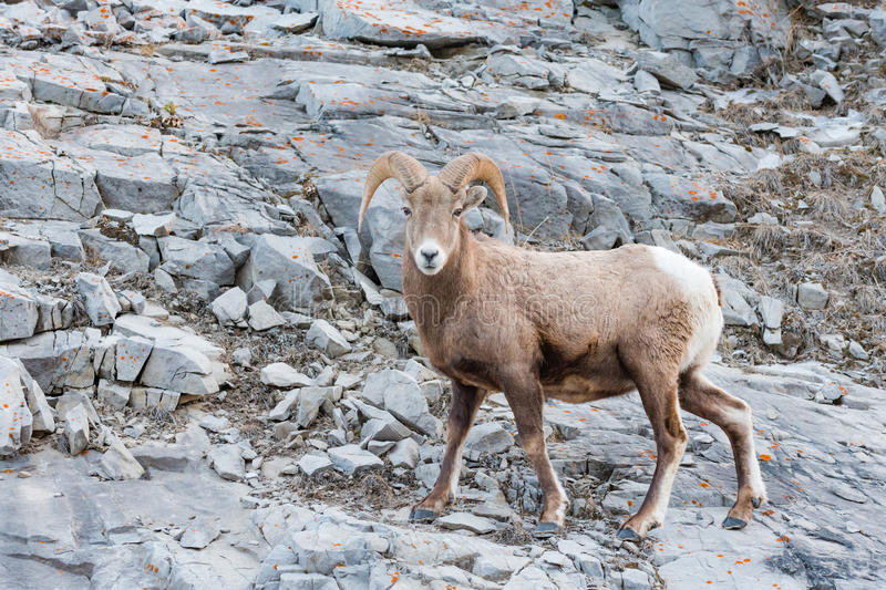Rocky Mountain Bighorn Sheep Ovis-canadensis royalty-vrije stock afbeelding