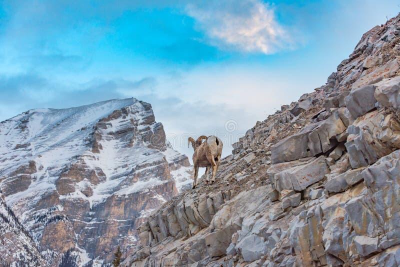 Rocky Mountain Bighorn Sheep Ovis canadensis. Rocky Mountain Bighorn Sheep on a cliffs edge in the mountains of Kananaskis Country Alberta Canada royalty free stock photo