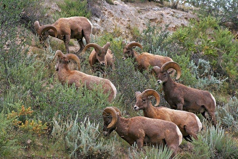 Rocky Mountain Bighorn Sheep stock photos