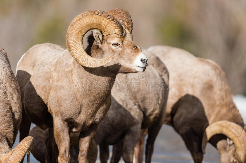 Rocky Mountain Bighorn Sheep Ovis canadensis. Rocky Mountain Bighorn Sheep on a mountain roadway in the early springtime royalty free stock image