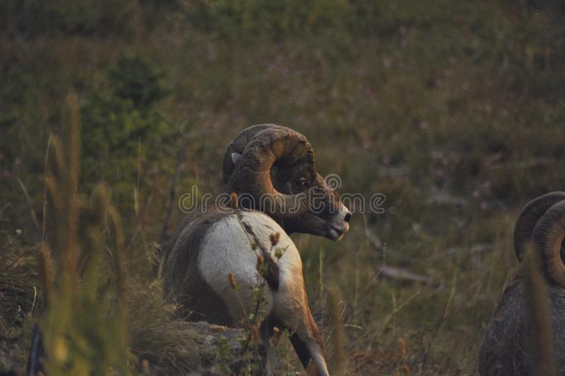 Rocky Mountain Bighorn Sheep Ram stock fotografie