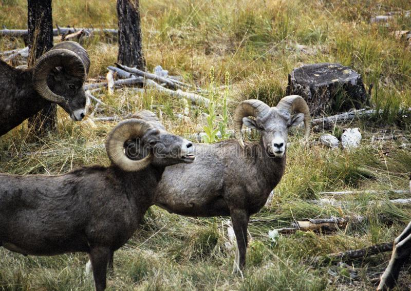 Rocky Mountain Bighorn Sheep Rams royalty-vrije stock afbeeldingen