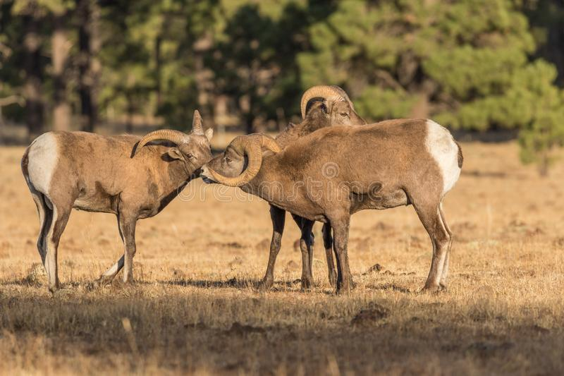 Bighorn Sheep Rams in Rut stock image