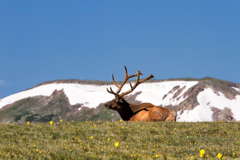 Rocky Mountain Bull Elk Lying in the Tundra. A Bull elk lounges in the tundra and wildflowers in Rocky Mountain National Park, Colorado royalty free stock photography