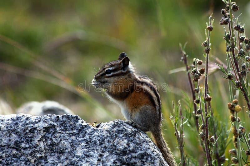 Rocky Mountain Chipmunk Preparing pequeno bonito para o inverno imagem de stock royalty free