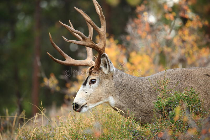 Rocky Mountain Deer. Beautiful deer grazes in the Rocky Mountain National Park stock image