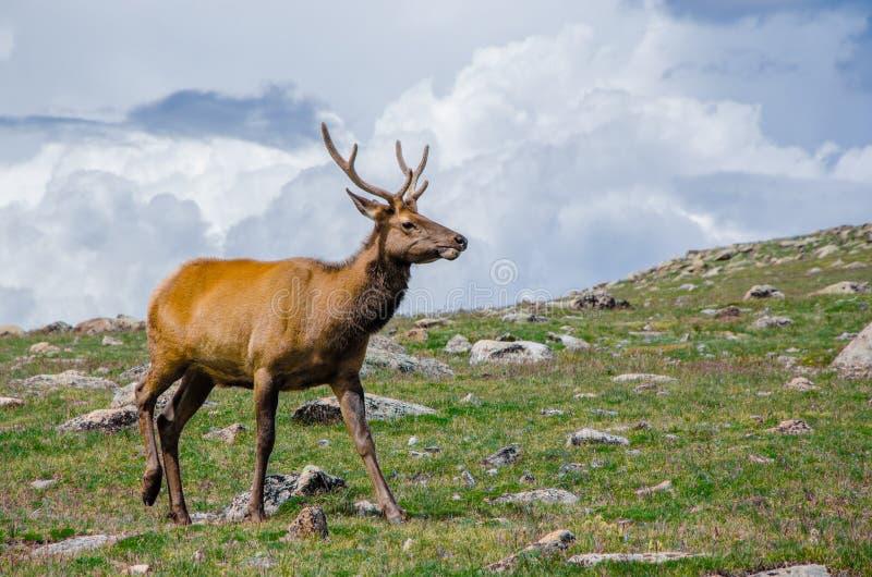 Rocky Mountain Elk imagem de stock