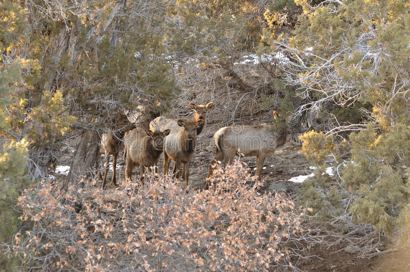 Rocky Mountain Elk calves curiously, but leery peering through the cedars stock images