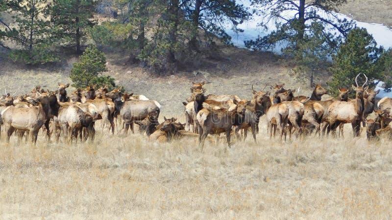 Rocky Mountain Elk Herd lizenzfreie stockfotos