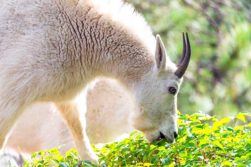 Rocky Mountain Goat Eating fotografia de stock royalty free
