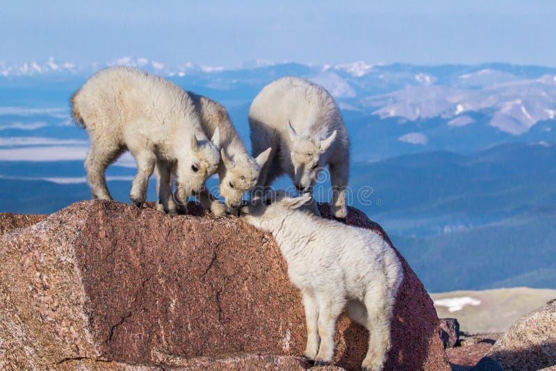Rocky Mountain Goat Kids stockfoto