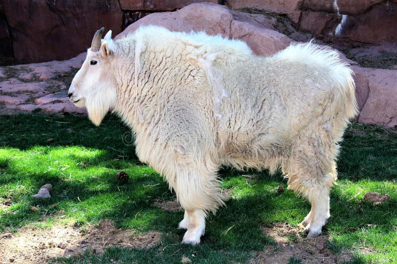 Rocky Mountain Goat stock photography