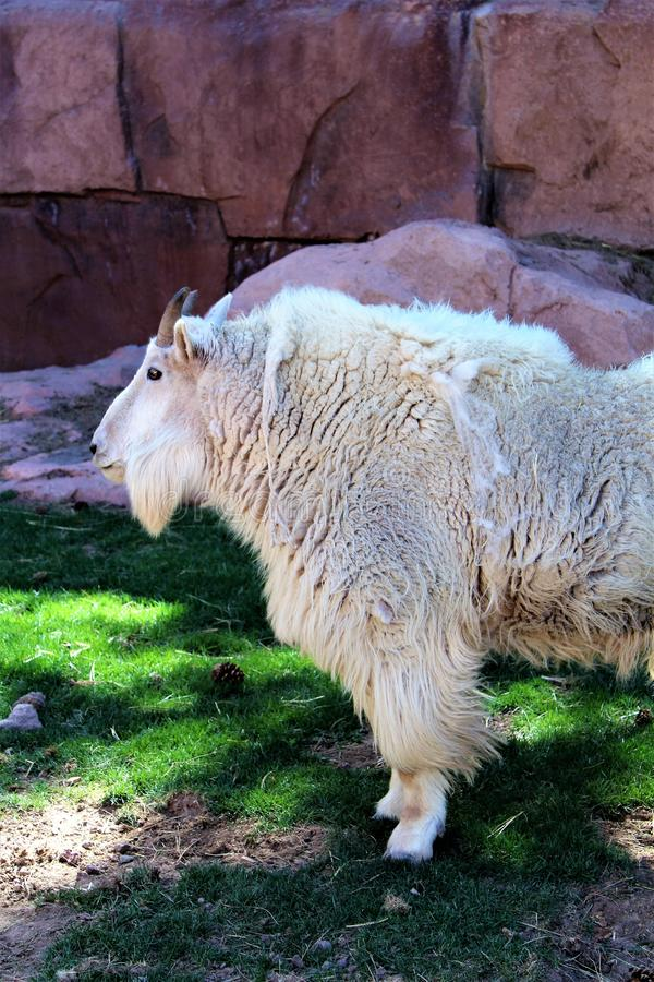 Rocky Mountain Goat. Large white rocky mountain goat standing under a shaded tree stock photo