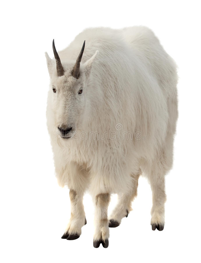Download Rocky Mountain Goat Over White Background Stock Image