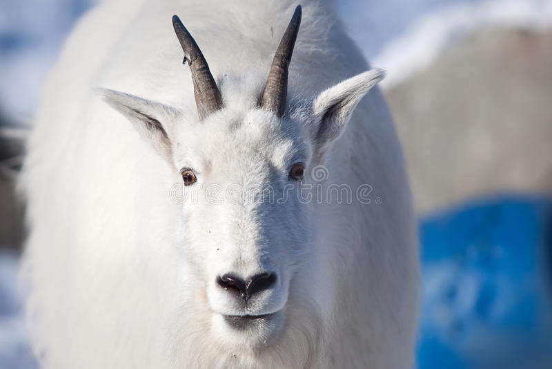 Rocky mountain goat (oreamnos americanus) stock image