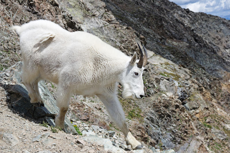 Rocky Mountain Goat royalty free stock images