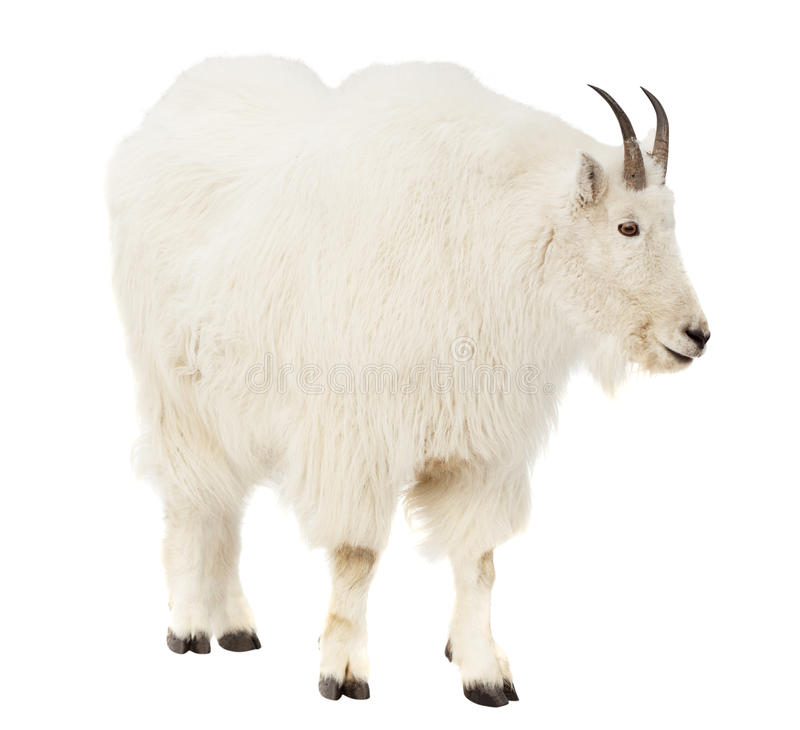 Rocky Mountain Goat Over White Background Royalty Free ...