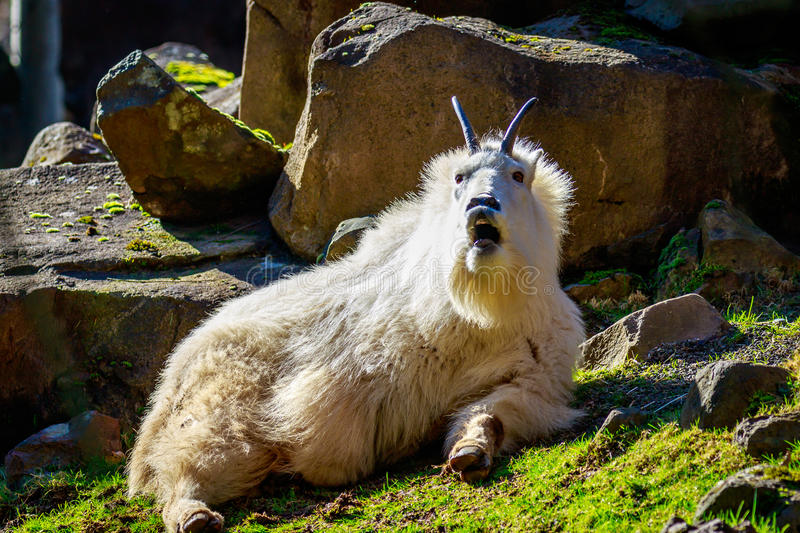 Rocky Mountain Goat. Roams and rests on the mountain slope stock image