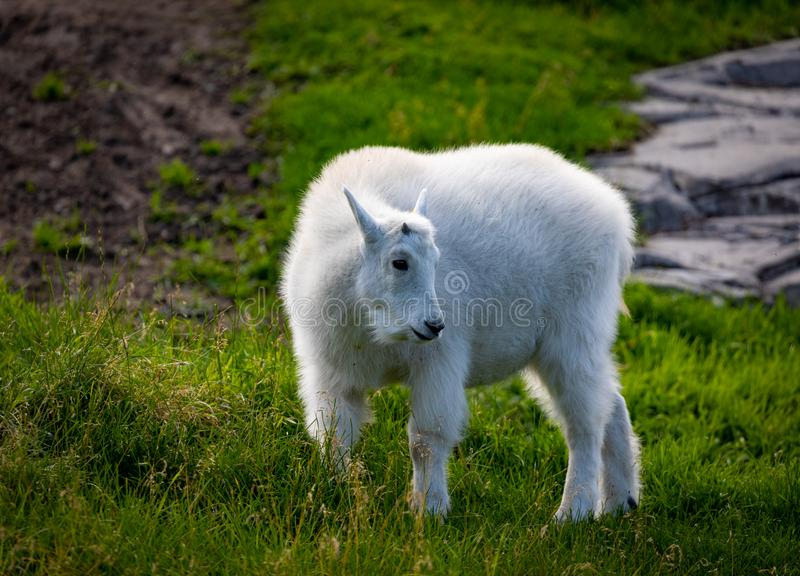 Rocky mountain goat in zoo environment royalty free stock photo