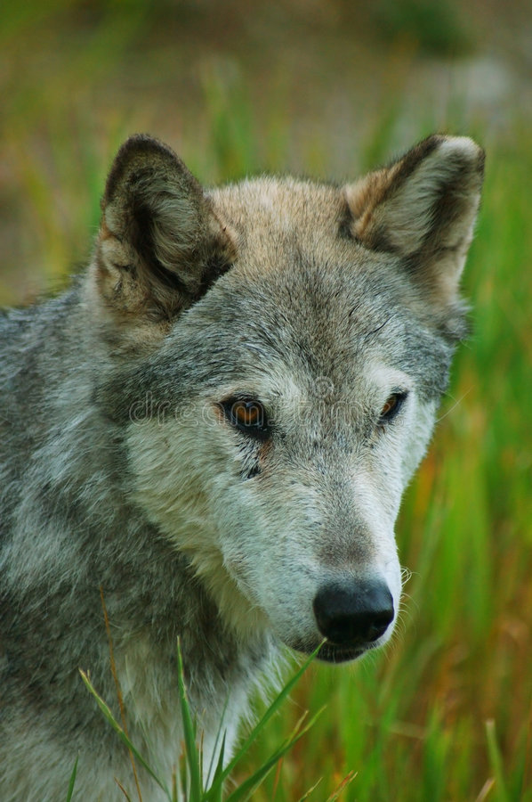 Rocky mountain Grey Wolf. Canis Lupus stock images