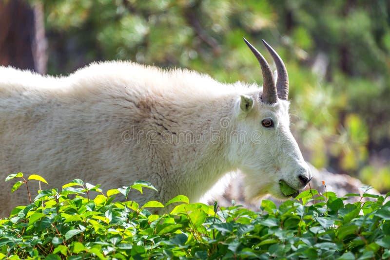 rocky mountain kozie zdjęcie royalty free