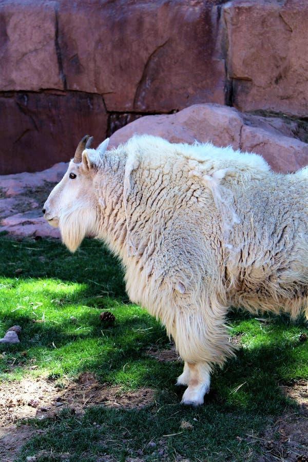 rocky mountain kozie zdjęcie stock