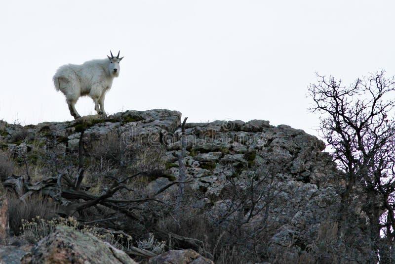rocky mountain kozie fotografia royalty free