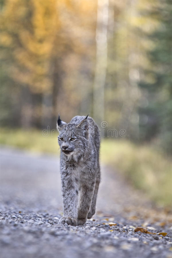 Download Rocky Mountain Lynx stock photo. Image of source, predator - 22435214