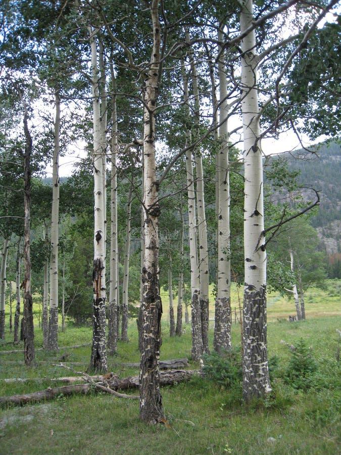 Rocky Mountain National Park. Aspen trees at Rocky Mountain National Park near Estes Park, Colorado stock photography