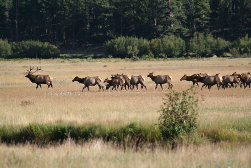 Rocky Mountain National Park Elk. Bull Elk leading females in Rocky Mountain National Park stock photos