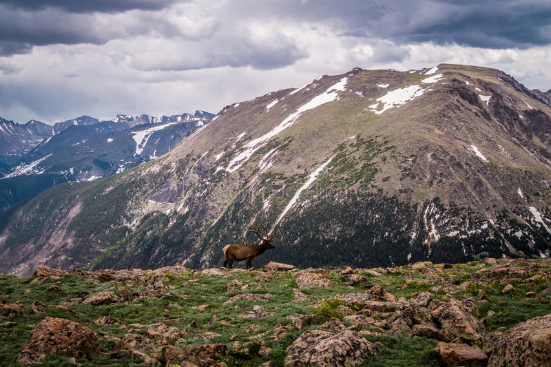 Rocky Mountain National Park. Mountain deer on the high mountain pasture. Wild primeval nature of the Rocky Mountains in Colorado, USA. Ecological nature reserve stock image